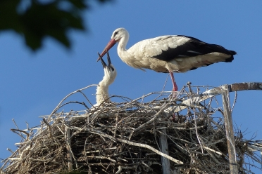 Klapperstorch mit Baby